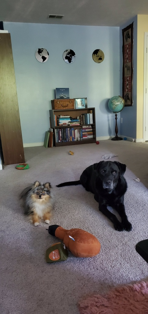tri-color pomsky and black lab laying on floor
